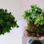 Kokedama: le piante sospese dal Giappone